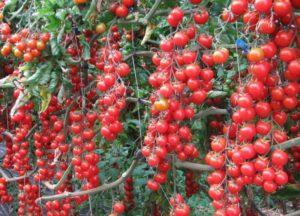Описание лучших сортов томатов черри для открытого грунта