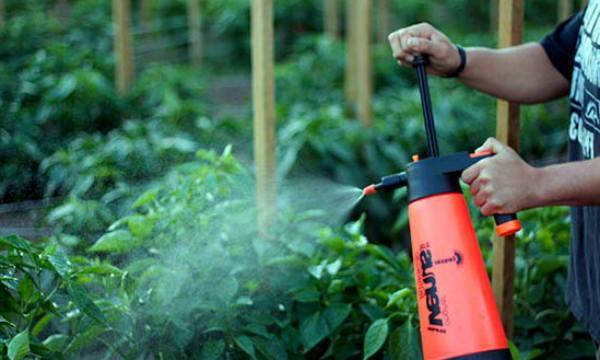 опрыскивание томата