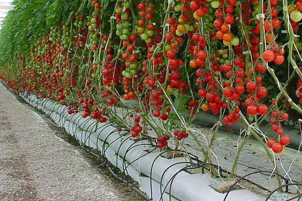 Посадка помидор гидропоника Скорость онлайн Евпатория