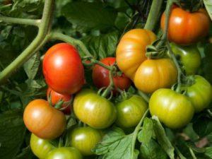 Лучшие сорта низкорослых помидоров для теплицы из поликарбоната