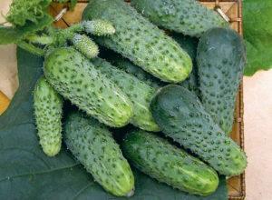Описания лучших сортов огурцов для Севера и особенности выращивания