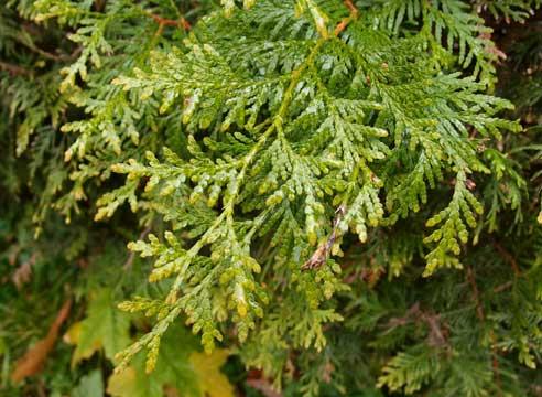 Кора, хвоя, листья