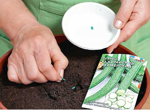 семена китайские огурцы