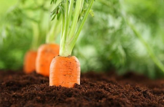 подкорм моркови