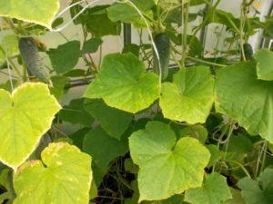 Причины, почему у огурцов желтеют листья и что делать, чем обработать и подкормить