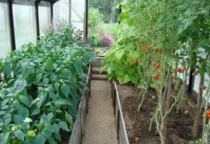 Можно ли сажать перец и помидоры в одной теплице, соседство и совместимость