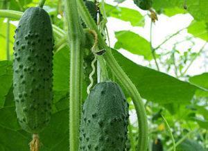 Что можно посадить вместе с огурцами в теплице, совместимость с другими овощам
