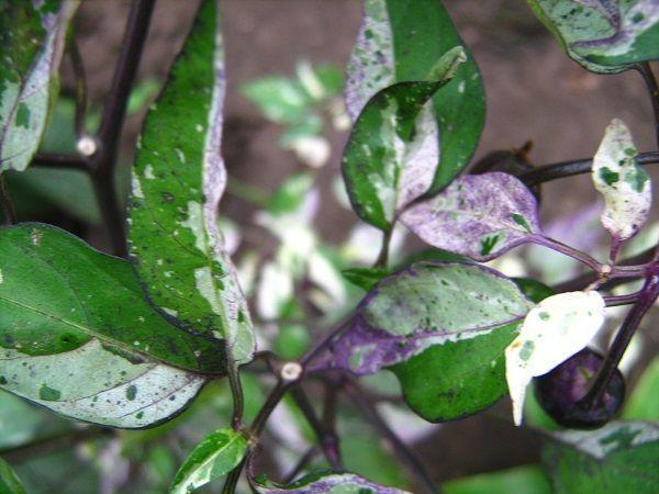 фиолетовые листья у перцев