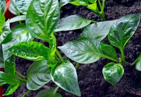 скручиваются листья перца