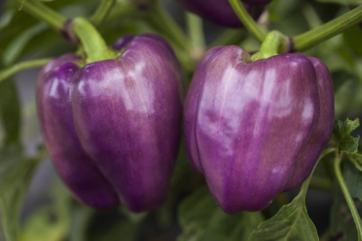 фиолетовый перец Клякса