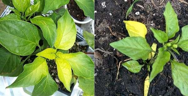 листья перца желтеют