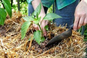 Чем можно подкормить перцы после высадки в грунт, минеральные и органические удобрения