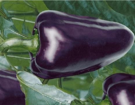 фиолетовый перец Алтайский хамелеон