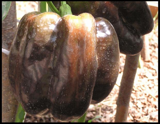перец Багира