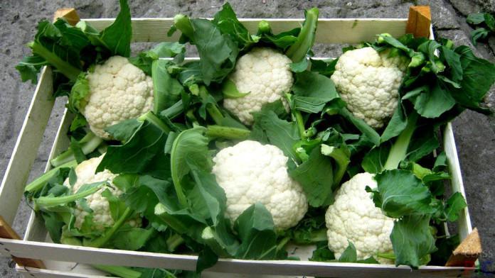 как посадить цветную капусту в открытый грунт
