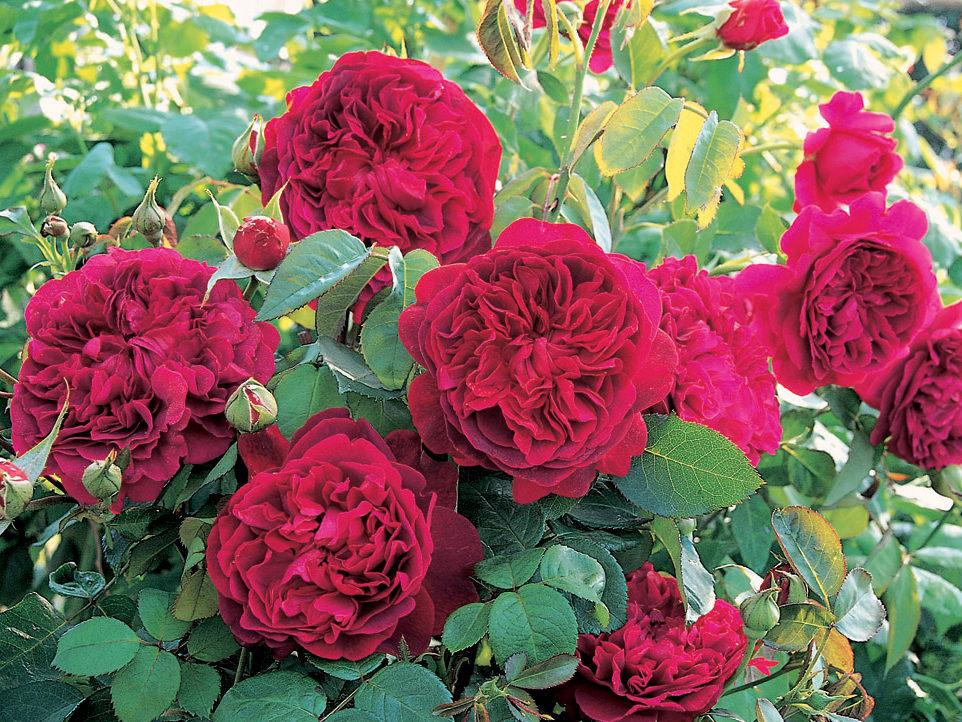 Шекспир роза