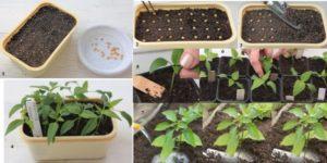 Как правильно сажать перец на рассаду в домашних условиях, выращивать и ухаживать