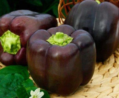 фиолетовый перец Багира