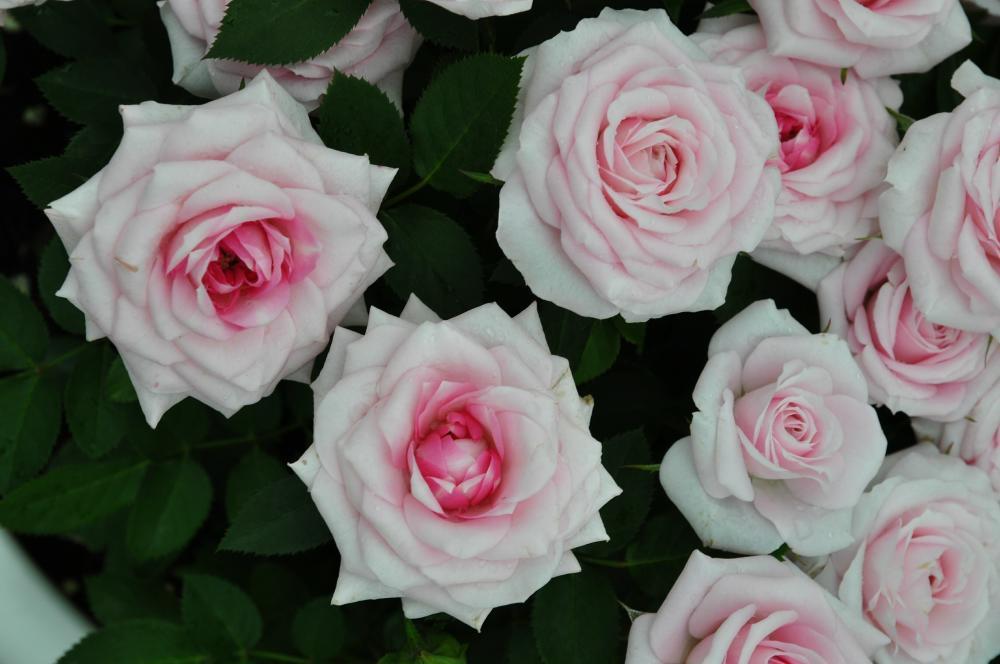 Фламинго роза