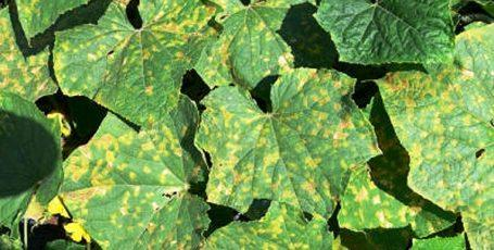 мозаика на огурцах