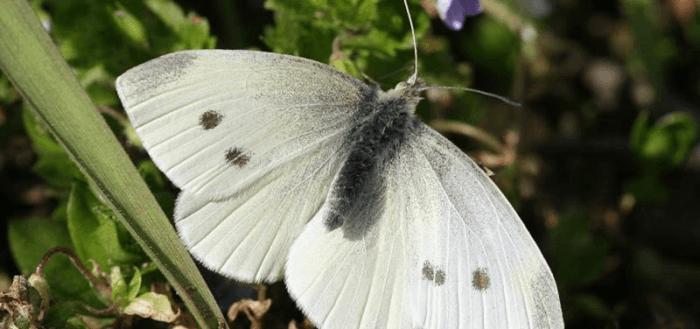 Бабочка белянка