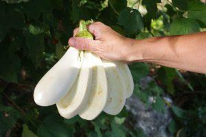 Описание и характеристики сорта баклажанов Бибо, выращивание и уход