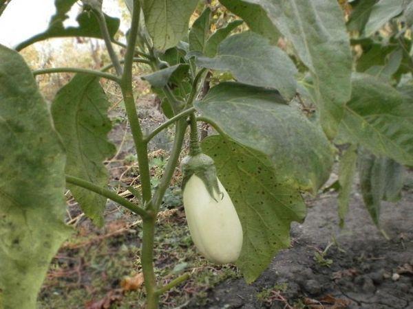 Выращивание гибрида