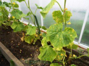 Почему у огурцов бледные листья и что делать, чем подкормить и обработать