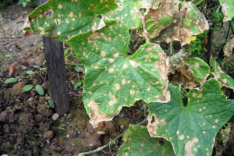 бурые пятна на листьях огурцов как лечить