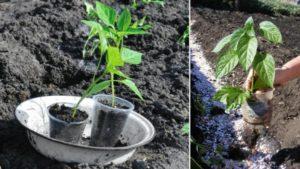 Посадка, выращивание и уход за болгарским перцем в открытом грунте