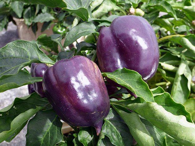 фиолетовый перец