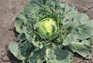 Можно ли опрыскивать капусту валерьянкой от вредителей и правила обработки