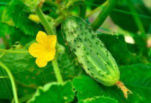Чем лучше подкормить огурцы во время цветения и плодоношения