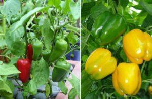 Что посадить рядом с болгарским перцем, с какими культурами можно соседствовать
