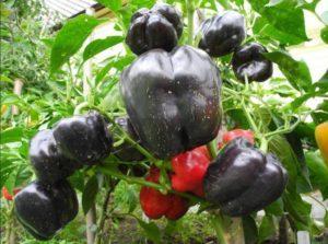 Посадка, выращивание и уход за перцем в открытом грунте в Подмосковье, лучшие сорта