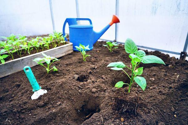 Выращивание перцев