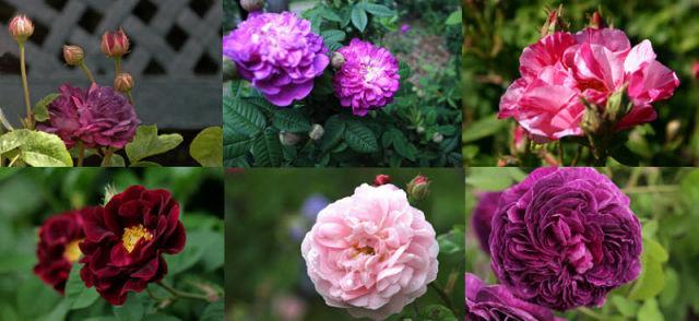 Rosa galica