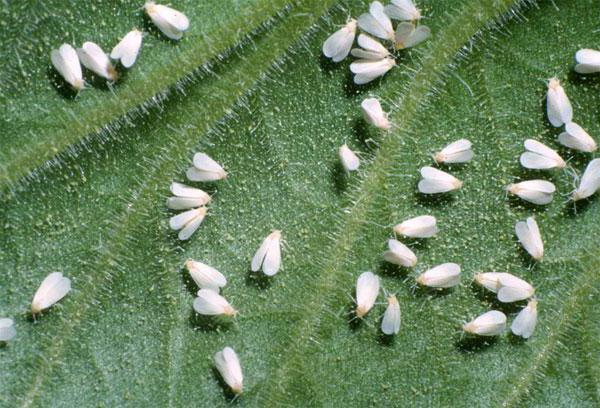 белокрылка капусты