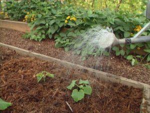 Как часто нужно поливать огурцы в теплице, когда лучше и сколько раз