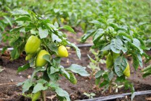 Как часто нужно поливать перцы в открытом грунте и теплице, от чего зависит регулярность