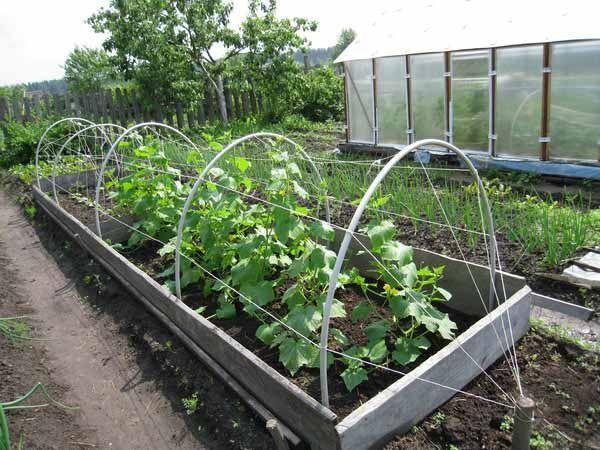 Огурцы в огороде