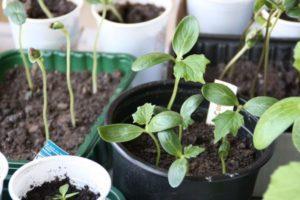 Можно ли сажать переросшую рассаду огурцов и как правильно это делать