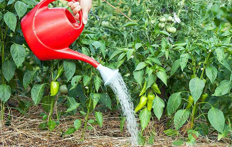 полив перца