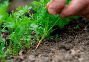 Как правильно и когда прореживают морковь в открытом грунте