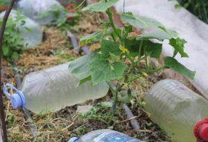 Как сделать капельный полив из пластиковых бутылок для огурцов своими руками