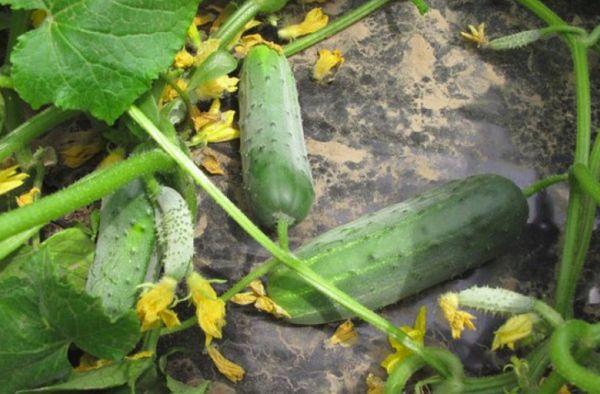 Выращивание зеленцов