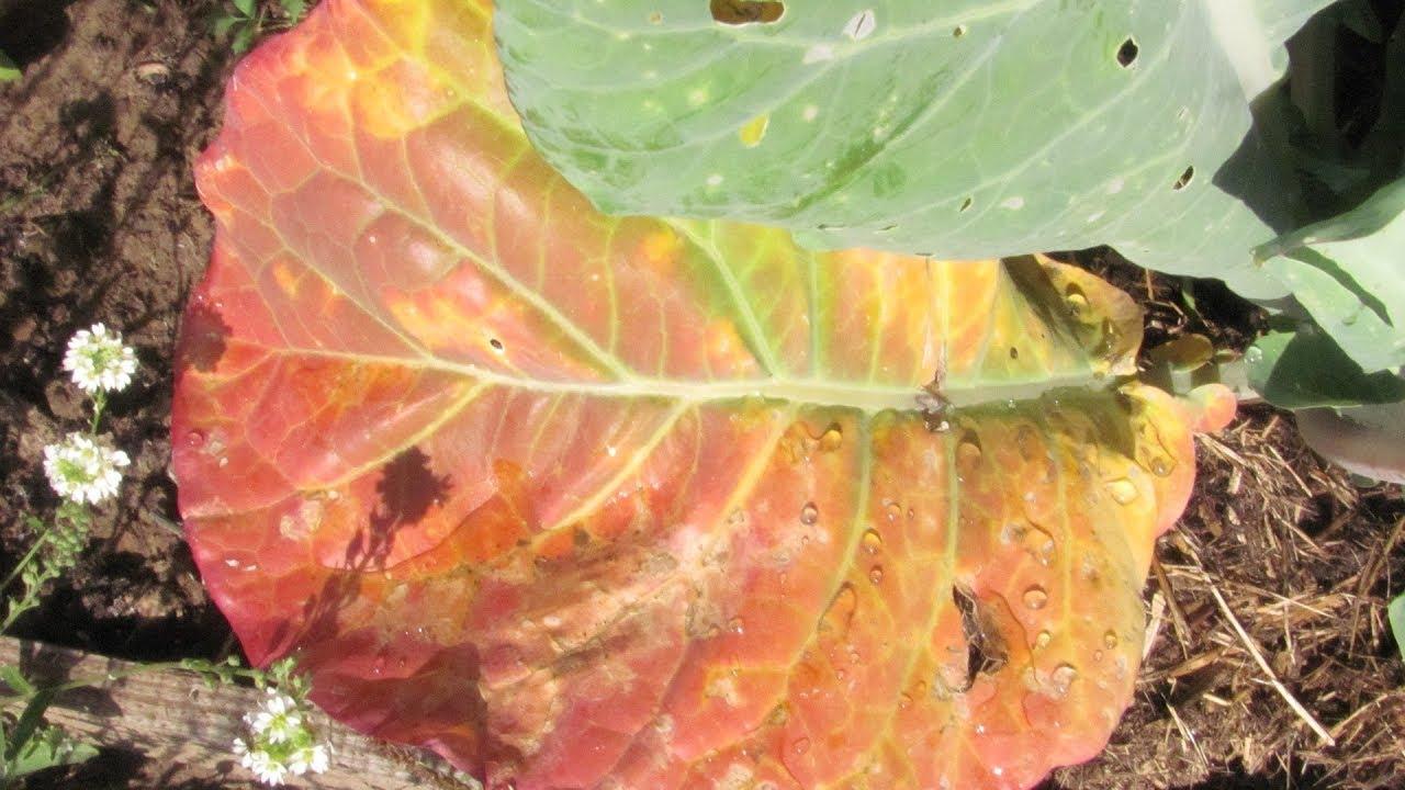 краснеют листья капусты
