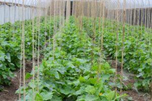 Как обрезать огурцы в теплице, чтобы был хороший урожай, схема формирования