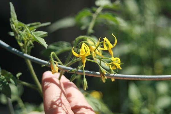 огурцы цветут а завязи нет что делать