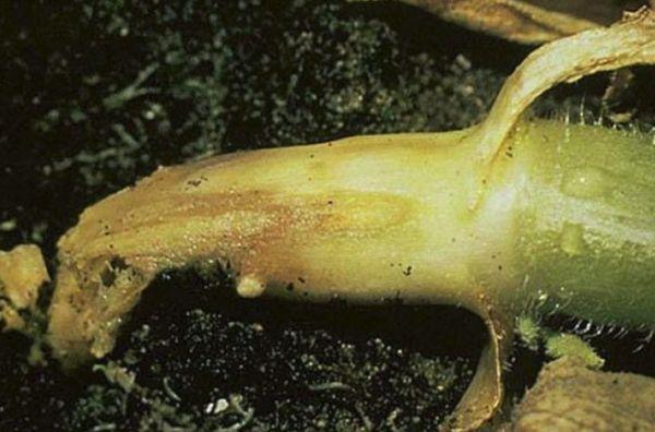 гриб Cladosporium
